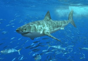 Australia To Use Drones To Patrol For Sharks