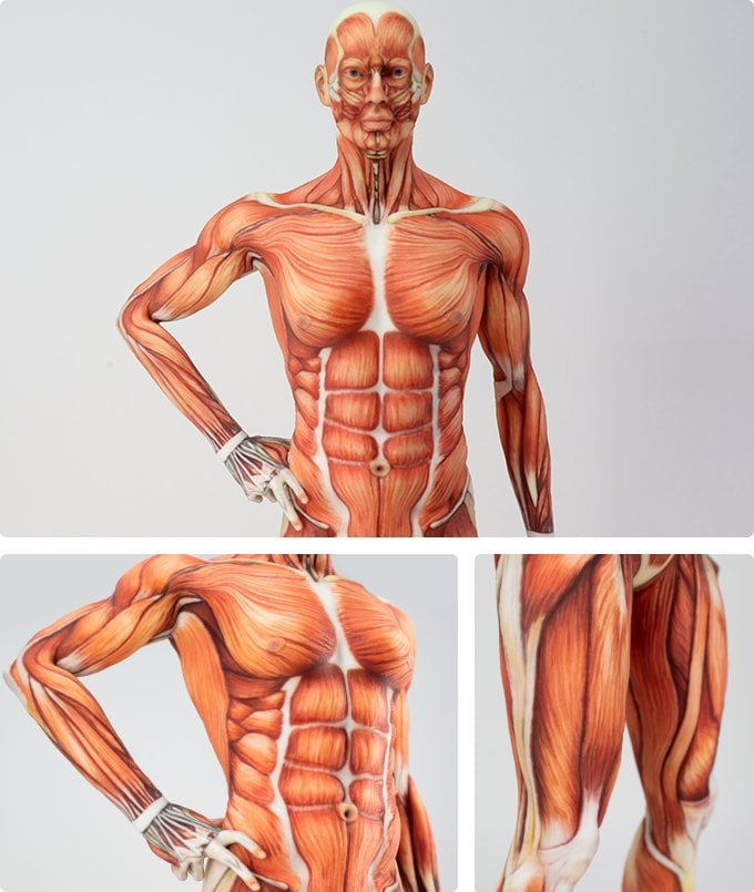 human anatomy models